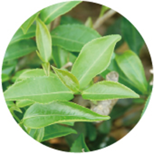 綠茶萃取液