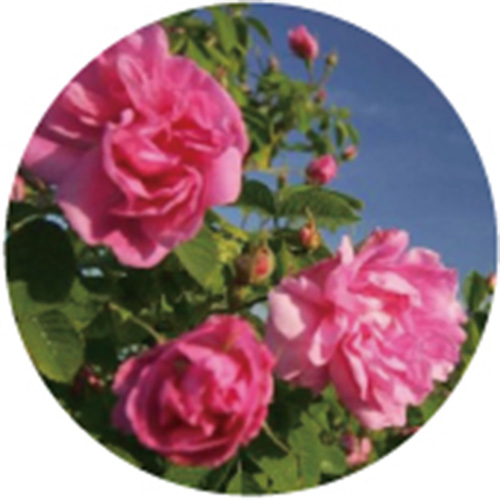 保加利亞玫瑰水